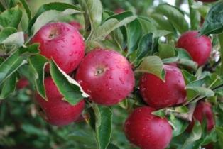 НФФ: МЗШВ да го прифати барањето на јабокопроизводителите за воведување интервентна мерка за субвенционирање на извезеното индустриско јаболко