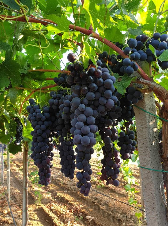 Барања на НФФ за решавање на проблемите со откупот на грозје