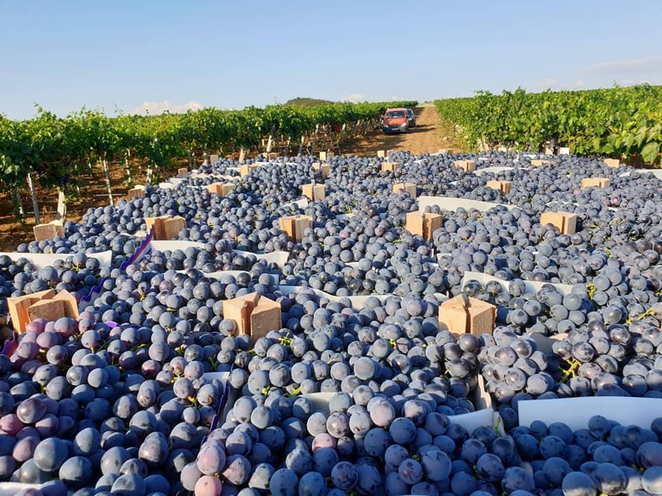Започна бербата на грозје во неготинскиот и кавадаречкиот регион.
