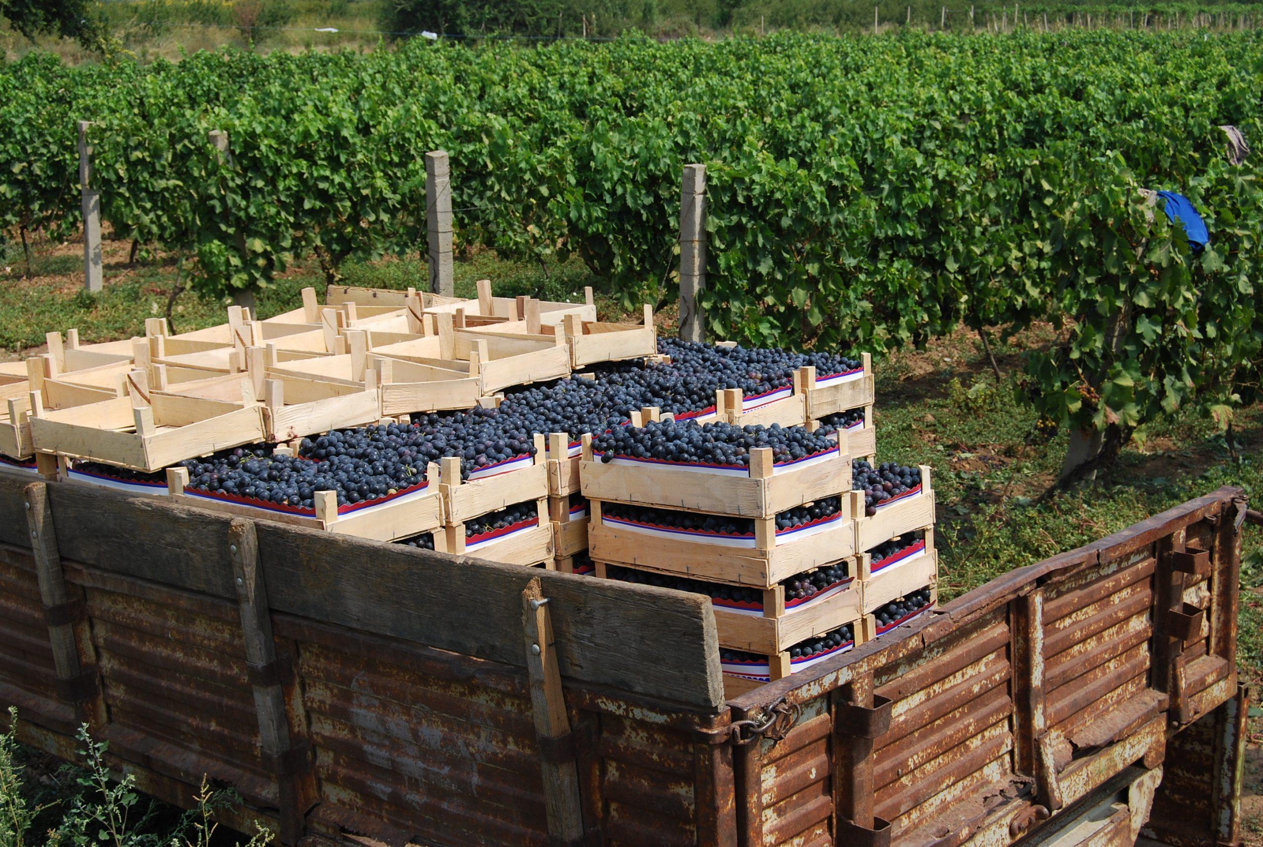НФФ: Лозари честит празник Свети Трифун и подобра продажна цена оваа година на грозјето