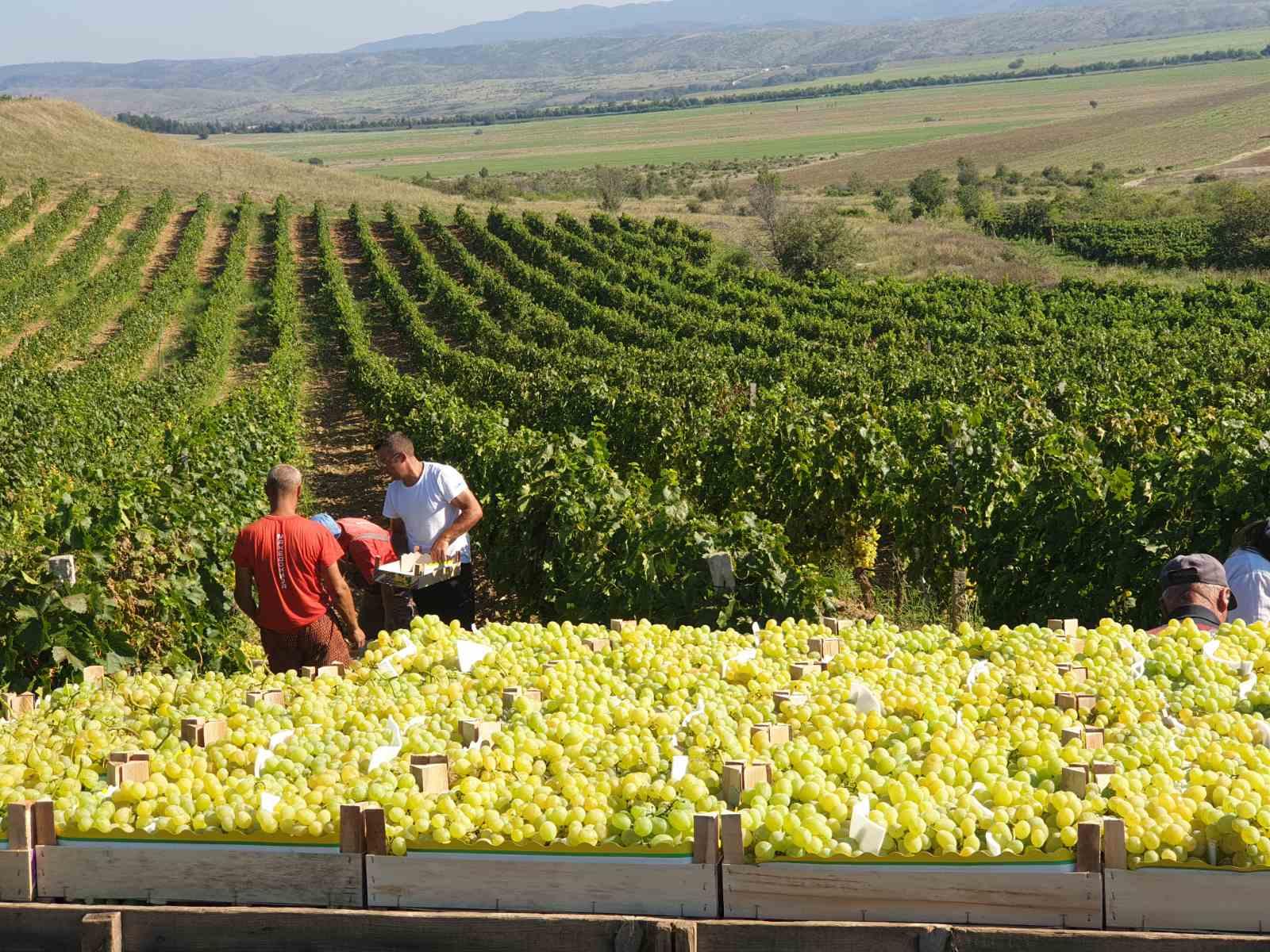 """НФФ: откупната цена на грозјето треба да изнесува 16 ден по кг за """"смедеревка"""" и 17 ден по кг за """"вранец"""""""